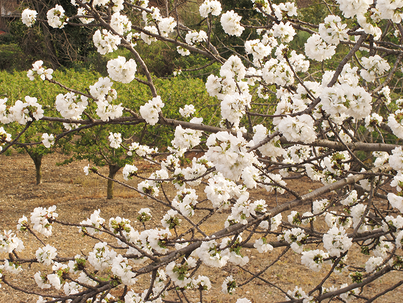Cirerers florits                      © Imatge Jordi Bastart